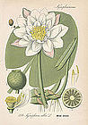 Thome Flora von Deutschland  -White Water Lily