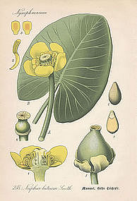 Thome Flora von Deutschland - Yellow Pond Lily