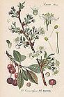 CHERRY TREE Professor Thome Flora von Deutschland 1905 Germany