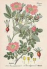 ROSE CINNAMON SWEETBRIAL Thome Flora von Deutschland 1905 Germany