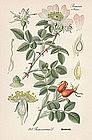 Thome Flora von Deutschland - Dog Rose