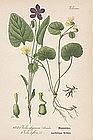 Thome Flora von Deutschland - Wood Violet