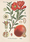 POMEGRANATE PUNICA GRANATUM Thome Flora von Deutschland 1905 Germany