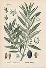 OLIVE TREE Professor Thome Flora von Deutschland 1905 Germany