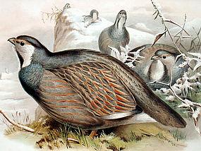 PARTRIDGE CASPIAN SNOW John Gould Richter Birds Asia Antique London