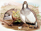PARTRIDGE ALTAIC SNOW John Gould Richter Wolf Birds Asia Antique