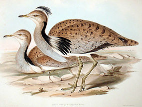 Gould Birds of Asia Lithograph MacQueens Bustard