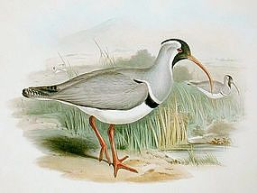 Gould Bird of Asia Antique Lithograph Red Billed Erolia