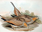 Gould Birds of Asia Lithograph Tibetan Sand Grouse