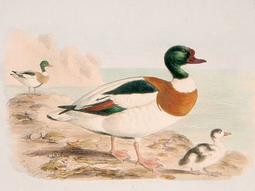 Dresser Birds of Europe Sheldrake Duck Lithograph