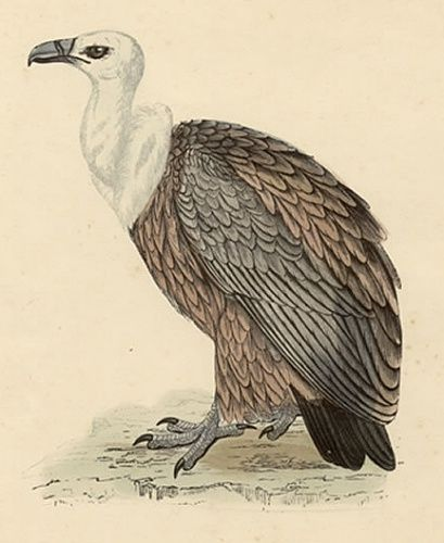 VULTURE GRIFFON Engraving Morris History British Birds London