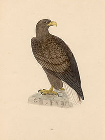 EAGLE ERNE SEA Engraving Morris History British Birds London