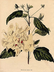 HIBISCUS YELLOW CHINESE Loddiges Botanical Cabinet 1824 London