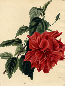 Loddiges Botanical Cabinet, Dark Red Hibiscus