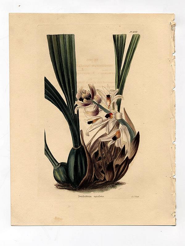 Loddiges Botanical Cabinet, Dingy Colored Dendrobium