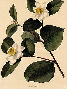 Loddiges Botanical Cabinet, Tea Oil Seed Camellia