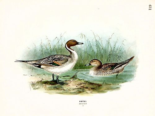 Dresser Birds Europe Pintail Male & Female Lithograph