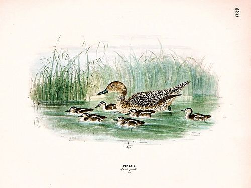 Dresser Birds Europe Pintail Female & Young Lithograph