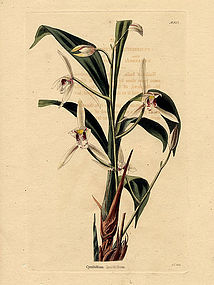 Loddiges Antique Orchid Print Lance Leafed Cymbidium
