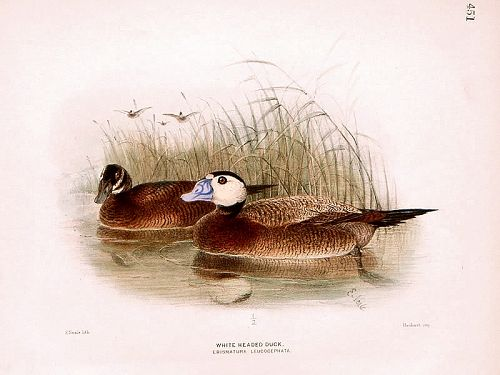 DUCK WHITE HEADED Henry Dresser Keulemans Birds Europe 1878 London