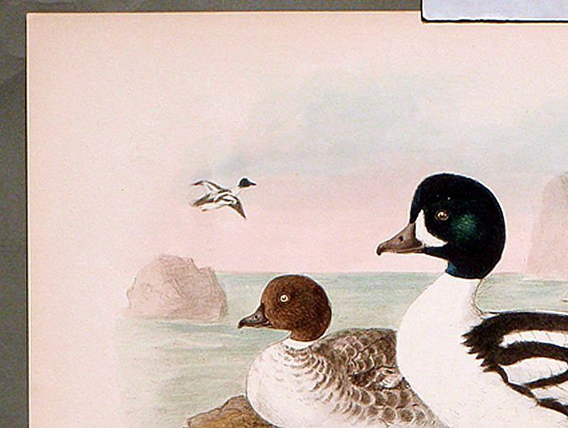 Dresser Birds of Europe Barrow's Golden-Eye Lithograph