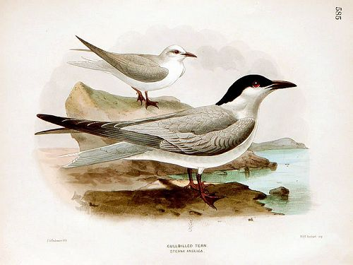 Dresser Birds of Europe Gullbilled Tern Lithograph