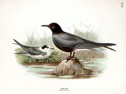TERN BLACK Henry Dresser Keulemans Wolf Birds Europe 1876 London