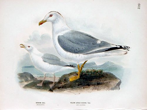 HERRING GULL YELLOW LEGGED Henry Dresser Birds Europe 1873 London