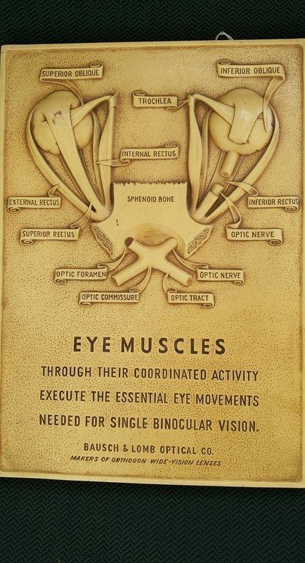C1950 Bausch & Lomb Eye Muscles Anatomy Medical Teaching Display