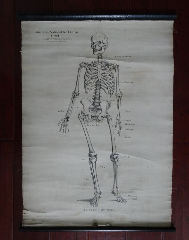Wonderful 1910 Set of 3 Anatomical Charts Skeleton Muscles Circulation