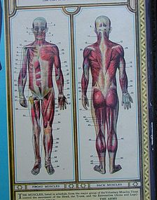 Fab 1935 Medical Teaching BODYSCOPE Anatomical Chart