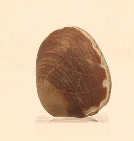 Fossil Clam with both Shells