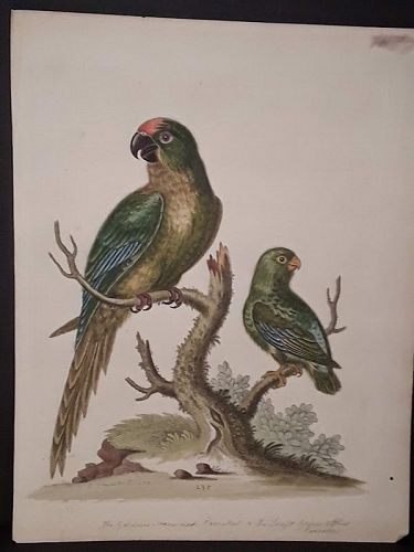 George Edwards engraving with original hand color 2 Parrots