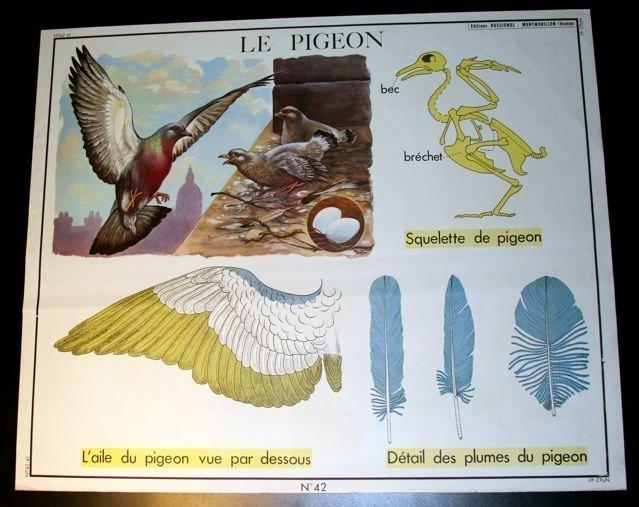 Vintage French School Poster Botanical Primevere/Pigeon